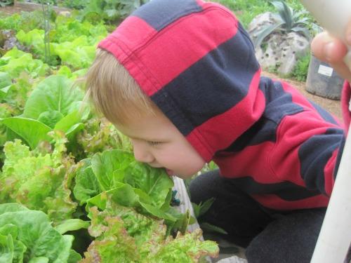 gardening lettuce WP