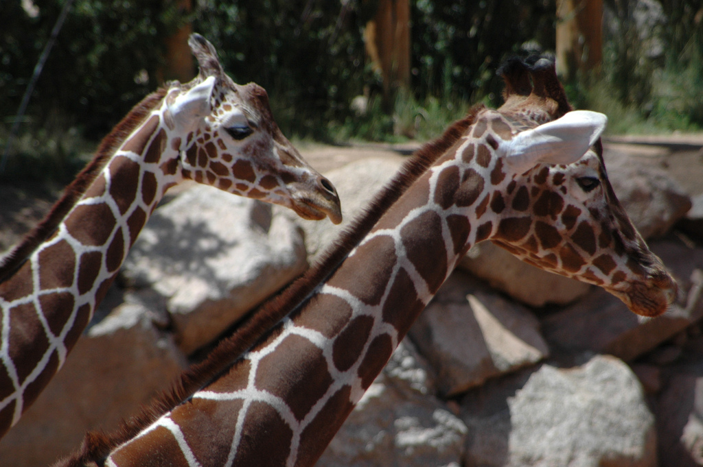 Feed the giraffes at Cheyenne Mountain Zoo