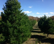 Holiday Tree Recycling: New Drop-off Collection Location